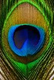 Imagen macra de la pluma del pavo real/de la pluma del pavo real Imagenes de archivo