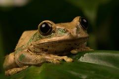 Imagen macra de la rana que presenta para la cámara Imagen de archivo