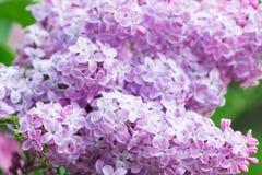 Imagen macra de las flores violetas de la lila de la primavera, fondo floral Imagen de archivo