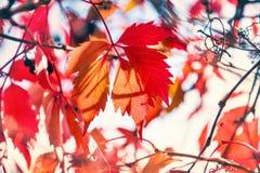 Imagen macra de las hojas de otoño rojas, pequeña profundidad del campo Foto de archivo