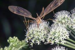 Imagen macra de mosquitos en la planta fotos de archivo libres de regalías