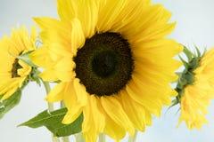 Imagen macra de un girasol Fotos de archivo libres de regalías