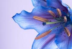 Imagen macra de un lirio tigrado azul Fotos de archivo libres de regalías