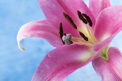 Imagen macra de un lirio tigrado rosado Fotografía de archivo