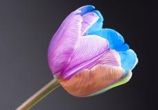 Imagen macra de un tulipán multicolor Fotografía de archivo libre de regalías