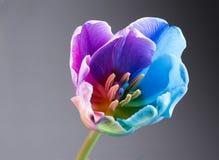 Imagen macra de un tulipán multicolor Foto de archivo