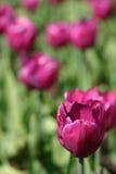 Imagen macra de un tulipán púrpura en la plena floración fotografía de archivo libre de regalías