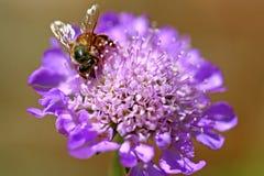 Imagen macra de una abeja del manosear en una flor Fotos de archivo