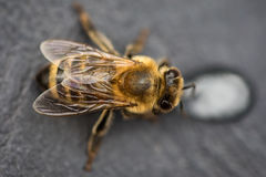 Imagen macra de una abeja en una superficie gris que bebe una gota de la miel para Fotos de archivo