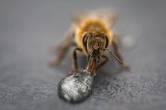 Imagen macra de una abeja en una superficie gris que bebe una gota de la miel para Imagen de archivo