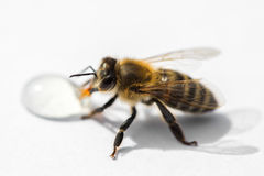 Imagen macra de una abeja en una superficie ligera que bebe una gota franco de la miel Imagen de archivo libre de regalías
