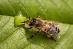 Imagen macra de una abeja en una hoja que bebe una gota de la miel de una colmena Foto de archivo libre de regalías