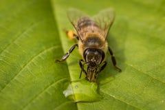 Imagen macra de una abeja en una hoja que bebe una gota de la miel de una colmena Imagenes de archivo
