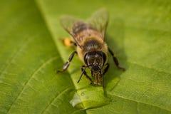 Imagen macra de una abeja en una hoja que bebe una gota de la miel de una colmena Fotos de archivo