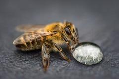 Imagen macra de una abeja en una superficie gris que bebe una gota de la miel para Imágenes de archivo libres de regalías
