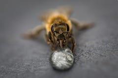 Imagen macra de una abeja en una superficie gris que bebe una gota de la miel para Imagen de archivo libre de regalías