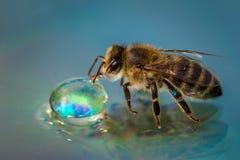 Imagen macra de una abeja en una superficie reflexiva que bebe a un Dr. de la miel Imagen de archivo