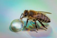 Imagen macra de una abeja en una superficie reflexiva que bebe a un Dr. de la miel Imagenes de archivo