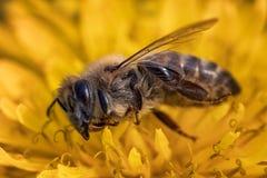 Imagen macra de una abeja muerta en una flor de una colmena en la disminución, pl Imagenes de archivo