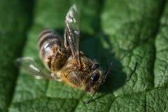 Imagen macra de una abeja muerta en una hoja de una colmena en la disminución, plag Imagen de archivo