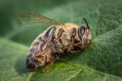 Imagen macra de una abeja muerta en una hoja de una colmena en la disminución, plag Imagenes de archivo