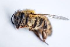 Imagen macra de una abeja muerta en un fondo blanco de una colmena en d Fotos de archivo libres de regalías