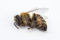 Imagen macra de una abeja muerta en un fondo blanco de una colmena en d Foto de archivo
