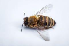 Imagen macra de una abeja muerta en un fondo blanco de una colmena en d Imagen de archivo libre de regalías