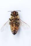 Imagen macra de una abeja muerta en un fondo blanco de una colmena en d Imagen de archivo