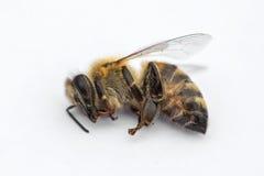 Imagen macra de una abeja muerta en un fondo blanco de una colmena en d Imágenes de archivo libres de regalías