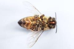 Imagen macra de una abeja muerta en un fondo blanco de una colmena en d Foto de archivo libre de regalías