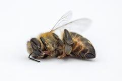 Imagen macra de una abeja muerta en un fondo blanco de una colmena en d Fotografía de archivo