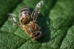 Imagen macra de una abeja muerta en una hoja de una colmena en la disminución, plag Foto de archivo
