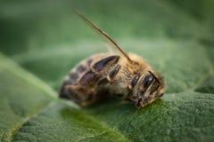 Imagen macra de una abeja muerta en una hoja de una colmena en la disminución, plag Fotografía de archivo libre de regalías