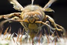 Imagen macra de una abeja reina en un cactus Imagen de archivo libre de regalías