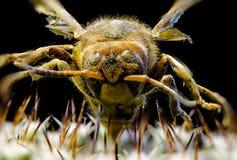 Imagen macra de una abeja reina en un cactus Fotografía de archivo libre de regalías