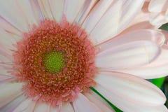 Imagen macra de una flor rosada con el centro amarillo Imagen de archivo libre de regalías