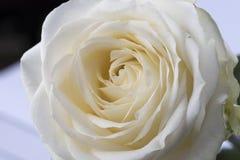 Imagen macra de una rosa blanca Foto de archivo