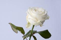 Imagen macra de una rosa blanca Imágenes de archivo libres de regalías