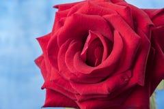 Imagen macra de una rosa roja Imagen de archivo libre de regalías