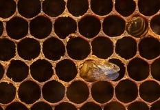 Imagen macra del panal con las abejas Foto de archivo