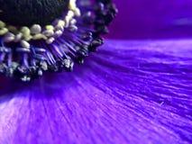Imagen macra sobre una flor púrpura de la anémona Foto de archivo