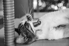 Imagen monocromática blanco y negro del gatito del gato de gato atigrado que bosteza fotografía de archivo