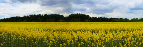 Imagen panorámica de campos amarillos florecientes Imagen de archivo libre de regalías