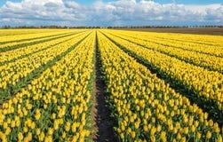 Imagen panorámica de un campo grande con blo floreciente amarillo del tulipán Imagen de archivo libre de regalías
