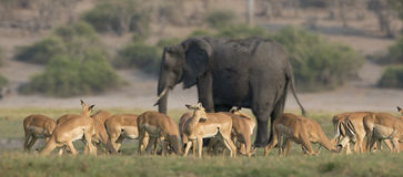Imagen panorámica de una manada de las gacelas y del elefante de la concesión Foto de archivo