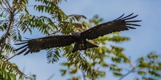 Imagen que sorprende de un águila marrón en el cielo fotografía de archivo libre de regalías