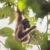 Imagen que sorprende de un orangután en el árbol fotografía de archivo libre de regalías