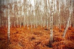 Imagen retra del estilo de la arboleda del abedul del otoño con el helecho rojo Fotografía de archivo