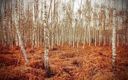 Imagen retra del estilo de la arboleda del abedul del otoño con el helecho rojo Fotografía de archivo libre de regalías